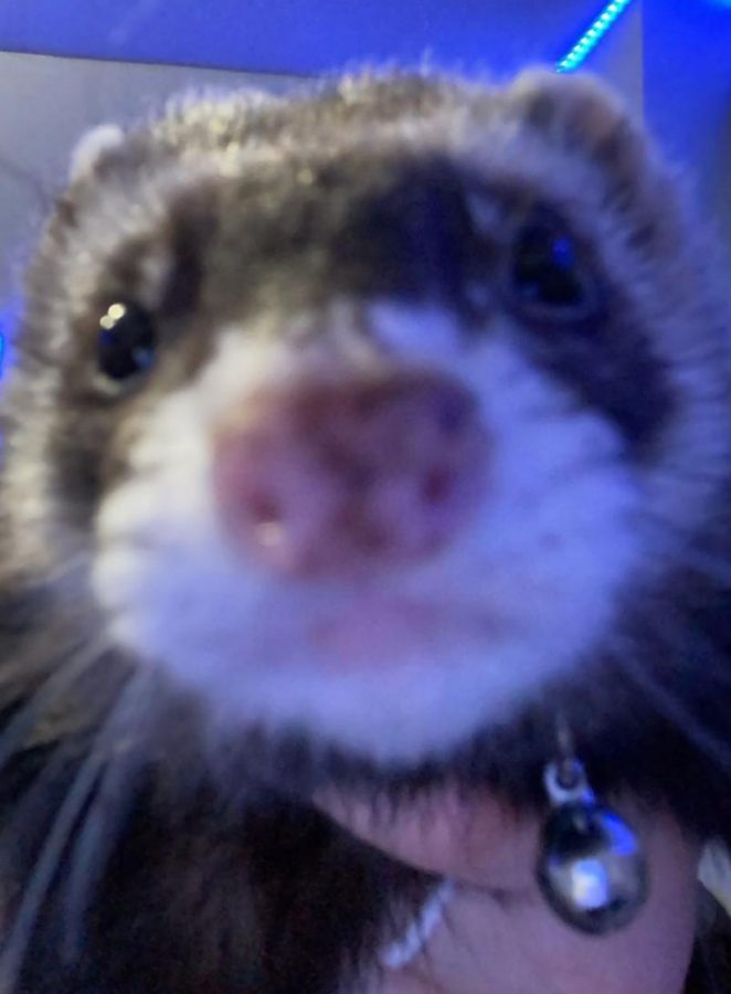 Fuzzy Friend Feature: Barry the ferret