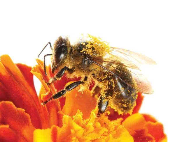 Depletion of bees could create a natural crisis
